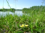 yellow flowers near river Enisey in Russia