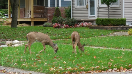 Grass! It's What's for Dinner... - whitetails, pink flowers, house, fawn, grass, fawns, white-tailed deer, whitetai1, deer, leaves, green, sidewalk, lawn