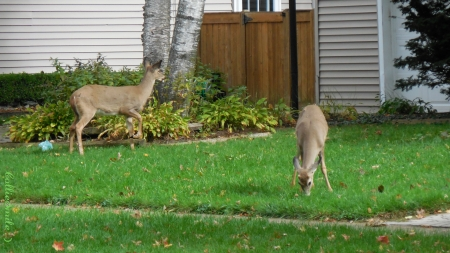 Living Lawn Ornaments - lawn, deer, whitetails, fence, fawn, grass, fawns, white-tailed deer, whitetai1, green, sidewalk