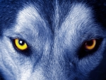 A Wolf's Stare