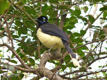 plush crested jay - bird, jay, crested, plush