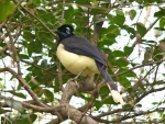 plush crested jay