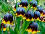 Chocolate Bells Fritillaria
