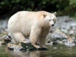 Spirit Bear, Gribbell Island, British Columbia