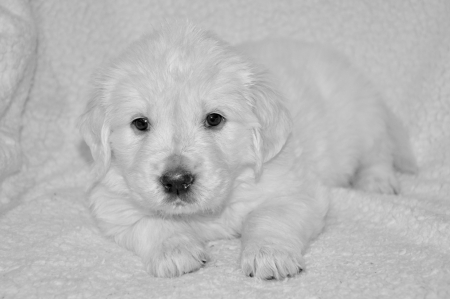 Golden Retriever Puppy Dogs Animals Background Wallpapers On Desktop Nexus Image 2442512