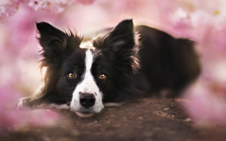 border collie - flowers, collie, border, dog