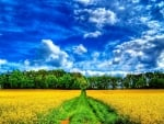 Yellow Field and a Wonderful Blue Sky
