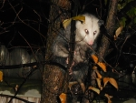 Awesome Autumn Possum