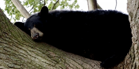 *-*  Drawn North American Bear - American, North, Black, Drawn, Bear