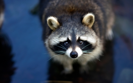 Raccoon - face, raccoon, animal, raton, cute, blue