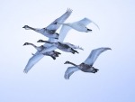 Flying Swans in Latvia