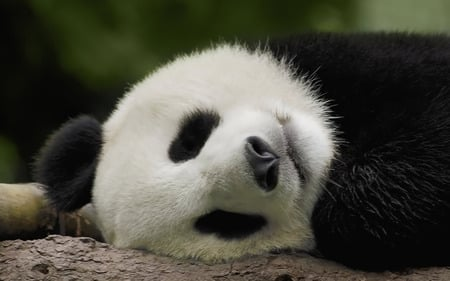 Sleeping Panda Wallpaper - sleeping, china, panda, bamboo, bear, cute