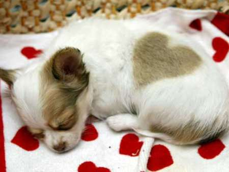 Puppy Love 2 - puppy, love heart, dog, chihuahua
