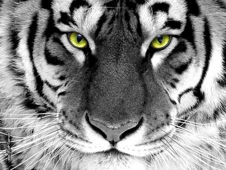 Tiger - cat, wild, tiger