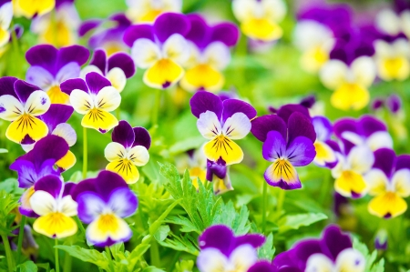 Pansies - purple, green, yellow, flower, summer, spring, pansy, viola tricolor
