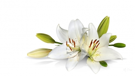 Purity - bud, white, blooms, floral, pure, spring, blossoms, flowers, lily, summer, Firefos theme
