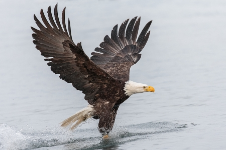 Bald Eagle Fishing - water, bird, bald eagle, fishing