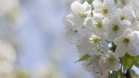 Apple Blossoms - Firefox theme, flowers, nature, spring, sky, apple blossoms, cherry blossoms, floral