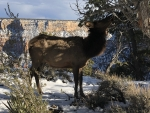 An Elk at the Grand Canyon