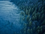 Aerial of Foggy Pine Forest