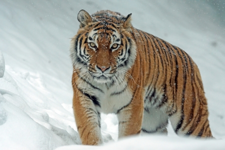 Tiger in Winter - 4K, siberian, pattern, stripes, snow, tiger, white, winter, HD