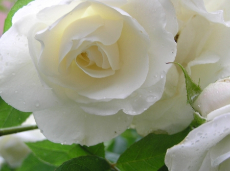 Pretty White Rose Flowers Nature Background Wallpapers On