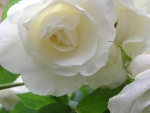 Pretty white rose