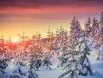 Snowy Fir Forest in the Sunset