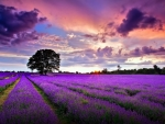 Sunrise Over the Lavender Filed