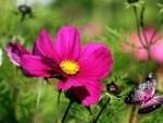 Cosmos Butterfly