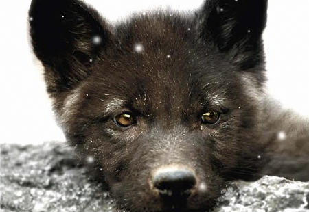 Baby Wolf - cute, pup, snow, eyes, winter