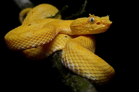 yellow eyelash viper - yellow, viper, eyelash, snake