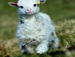 Baby Lamb Playing Field