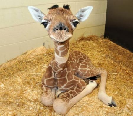 Cute Baby Giraffes Giraffes Animals Background Wallpapers On Desktop Nexus Image 2456257