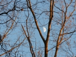 Half Moon in a Tree Fork