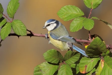 Blue Tit - blue tit, leaf, bird, green, pasari, yellow, pitigoi