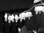 Bleeding Hearts In Black And White