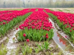 A field of tulips