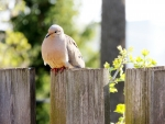 Dove On A Fence
