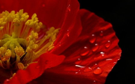 Poppy - poppy, red, mac, texture, summer, yellow, flower, skin, vara