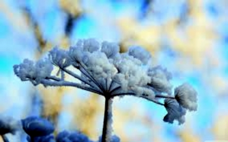 Snow Flowers Flowers Nature Background Wallpapers On