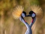Eastern crowned cranes
