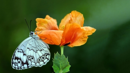 Butterfly - mac, butterfly, green, orange, insect, flower, levantine marbled white, mustafa ozturk, poppy, fluture
