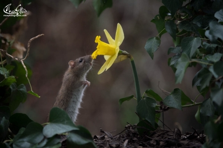 Happy spring - mouse, max ellis, flower, yellow, daffodil, spring, rodent