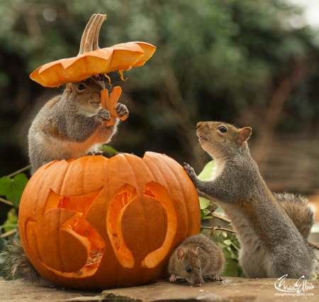 Halloween squirrels animals background wallpapers on - Funny squirrel backgrounds ...