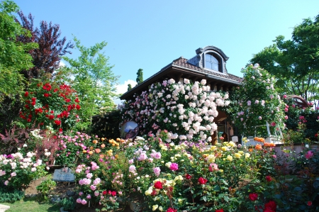 House of Roses - home, color, flower, roses