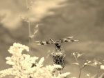 Dragonfly-Sepia