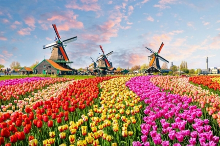 Keukenhof Flower Festival - netherlands, windmills, blossoms, colors, spring, tulips, fields