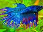 Electric blue Betta