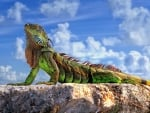 Colorful Iguana Catching a Few Rays